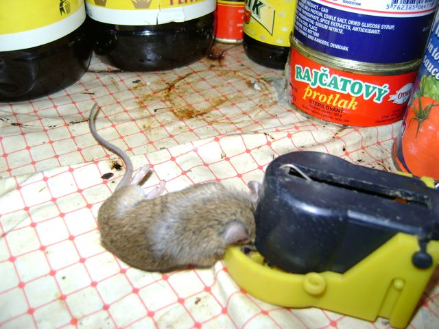 Myška v pastičce